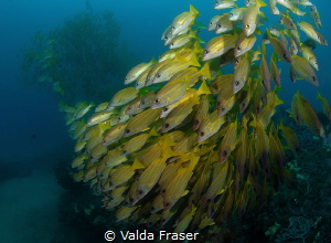 Flowing snappers at Snapper College, Sodwana Bay. by Valda Fraser